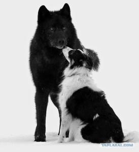 дикий волк и собака