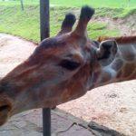 Как жирафу Самсону больное горло лечили.
