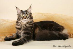 Мейн-кун, роскошная крупная кошка с собачьим характером