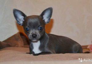Гипогликемия у щенков и собак миниатюрных пород