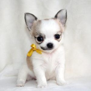 Чихуа-хуа, собака или модный аксессуар?