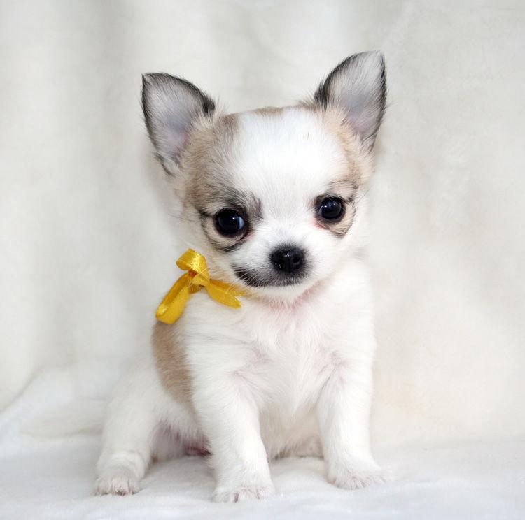 чихуа хуа фото собак
