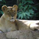Поперёк чего львам мороженные куры?