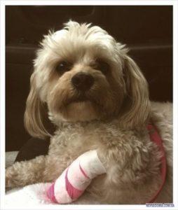 Что делать, если собака или кошка получила травму